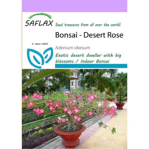 Saflax  - Bonsai - Desert Rose - Adenium Obesum - 8 Seeds