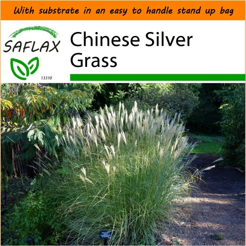 SAFLAX Garden in the Bag - Chinese Silver Grass - Miscanthus - 200 seeds