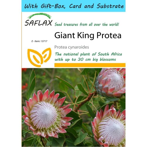 Saflax Gift Set - Giant King Protea - Protea Cynaroides - 5 Seeds - with Gift Box, Card, Label and Potting Substrate