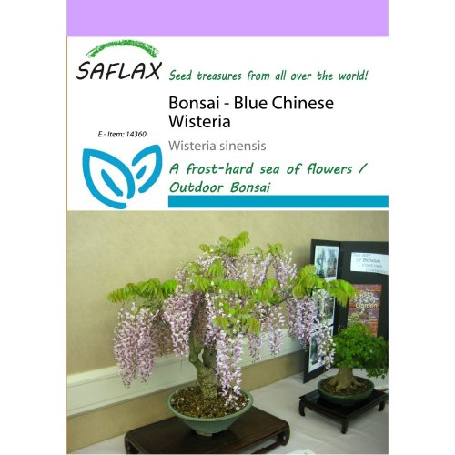 Saflax  - Bonsai - Blue Chinese Wisteria - Wisteria Sinensis - 4 Seeds