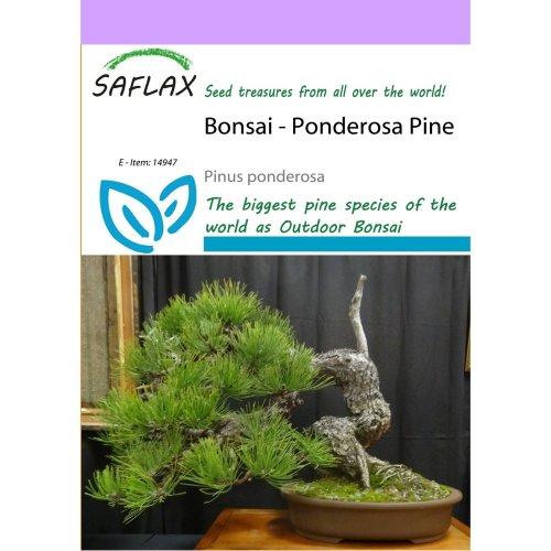 Saflax  - Bonsai - Ponderosa Pine - Pinus Ponderosa - 20 Seeds