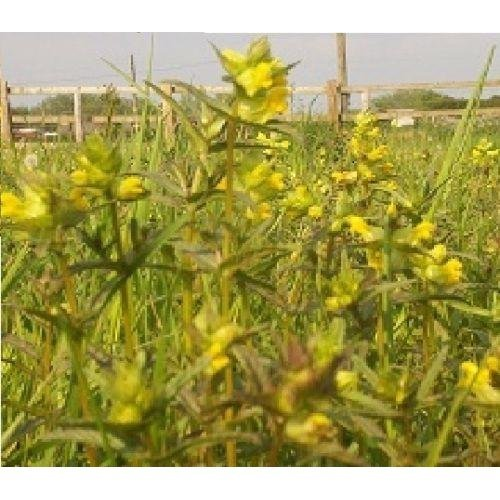 Wild Flower - Yellow Rattle - Rhinanthus Minor - 300 Seeds
