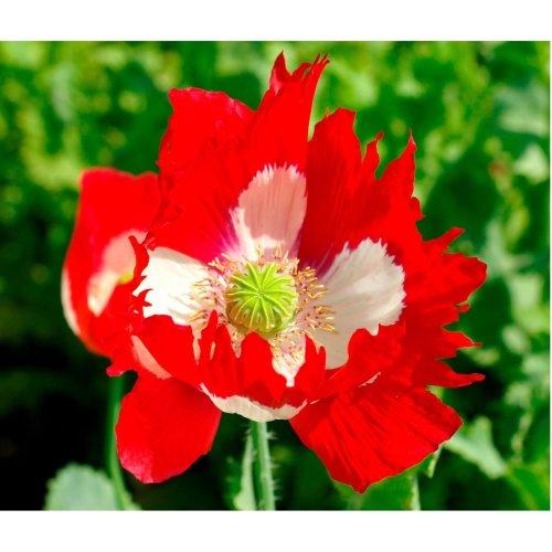 Flower - Poppy - Victoria Cross - 4000 Seeds