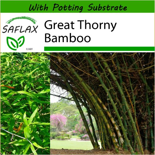 SAFLAX  - Great Thorny Bamboo - Dendrocalamus arundinacea - 50 seeds - With potting substrate for better cultivation