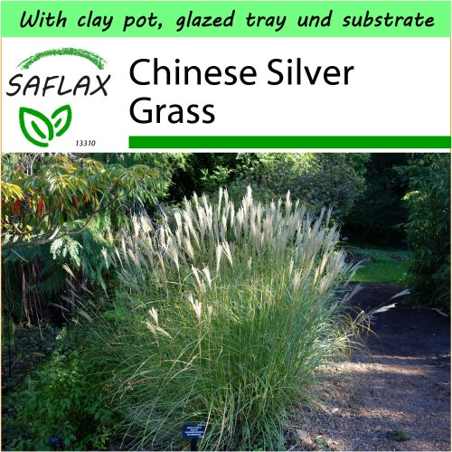 SAFLAX Garden to Go - Chinese Silver Grass - Miscanthus sinensis - 200 seeds - With clay pot, glazed tray, substrate and fertilizer