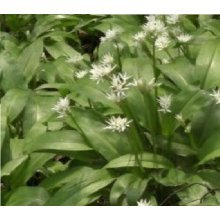 Wild Flower - Wild Garlic - Ramsons - Allium Ursinum - 100 Seeds